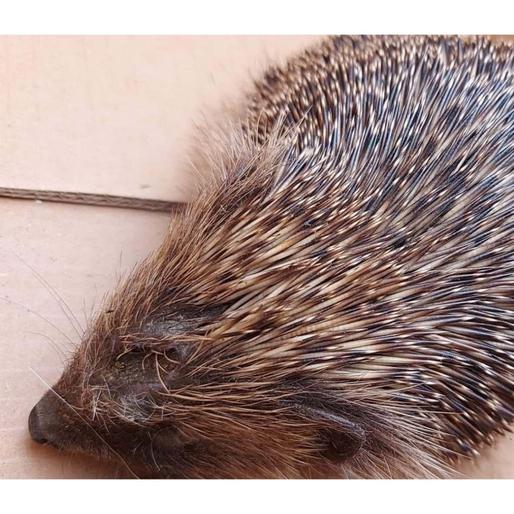 The hedgehog had been a victim of a dog attack so we took it to the rehabilitation centre.